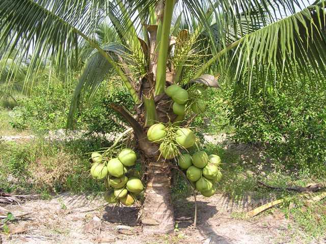 Lợi ích và ứng dụng từ Dầu dừa với đời sống hàng ngày